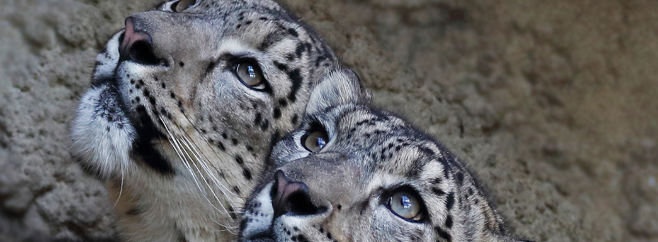 Snow Leopard Small